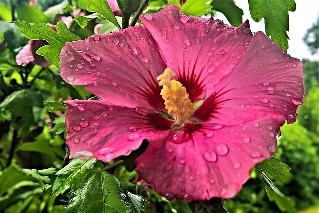Hibiscus, Garden Hibiscus, Marshmallow