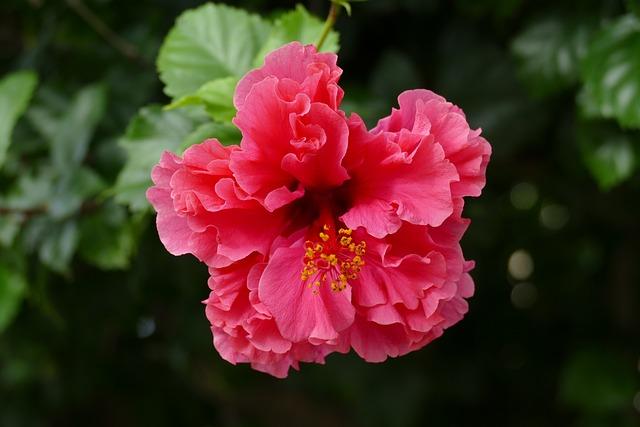 Hibiscus, Flower, Plant, Flora, Pink, Malvaceae