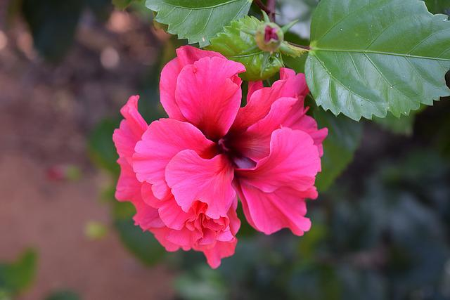 Hibiscus Rosa-sinensis, Flower, Pink Double