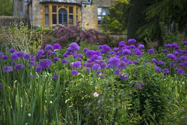 Hidcote Manor, Lawrence Johnson's Garden, Purple Aliums