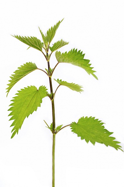 Plant, High, Close-up, Isolated, Nettle, Nobody, Green