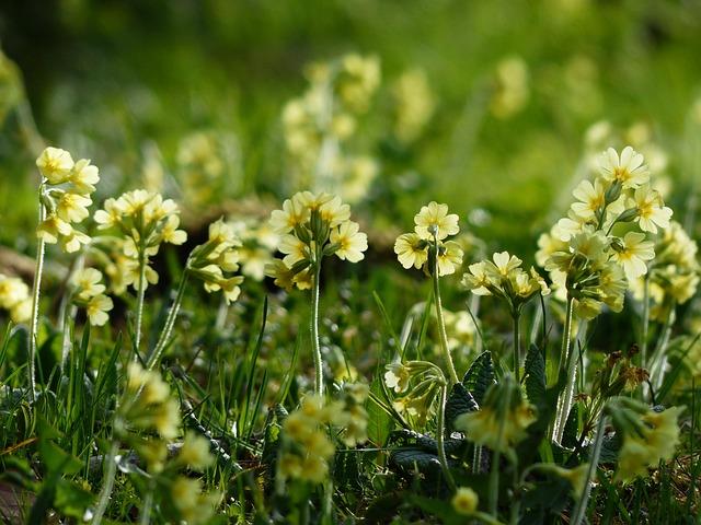 Cowslip, Flowers, Bright Yellow, Yellow, High Primrose