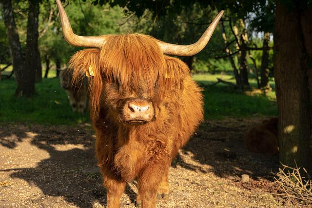 Beef, Highland Beef, Cow, Horns, Pasture, Shaggy