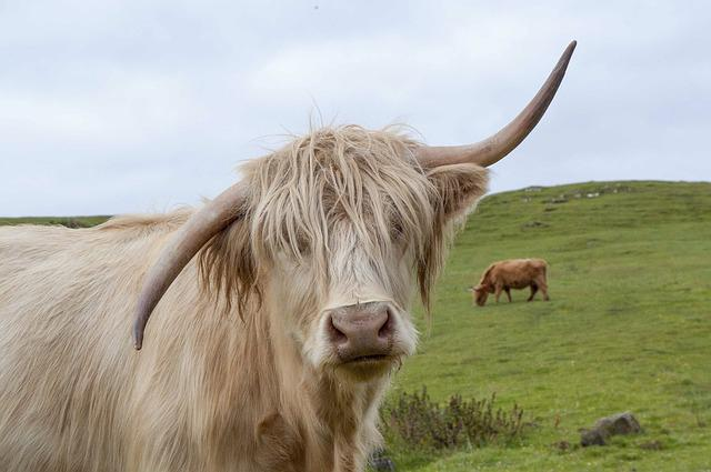 Highland Cow, Scotland, Highland, Scottish, Hairy