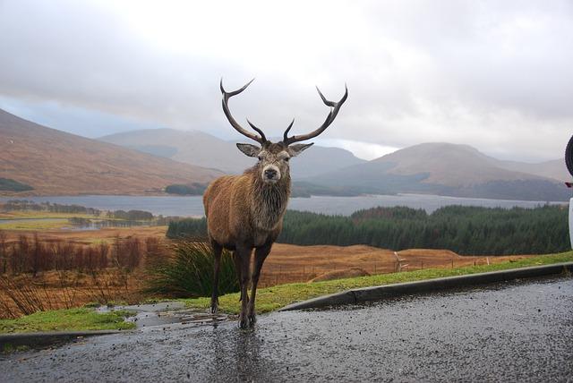 Stag, Highlands, Scotland