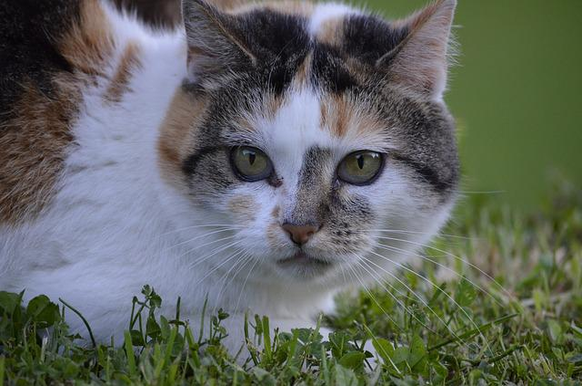Cat, Portrait, Nature, Animals, Hildegard, Lucky Cat