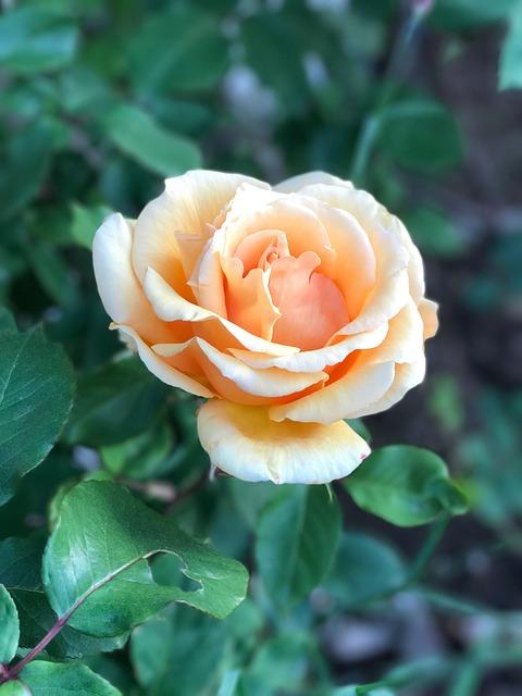Roses, Hildegard, Garden
