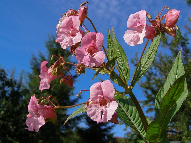 Himalayan Impatiens, Flower, Pink, Dashing