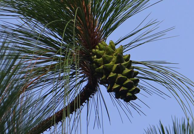 Himalayan Blue Pine, Cone, Himalayan Pine, Bhutan Pine
