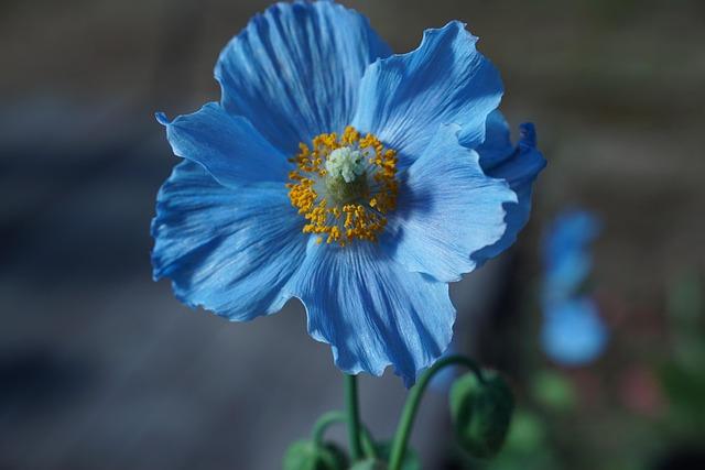 Himilayan Blue Poppy, Flower, Petals, Springtime