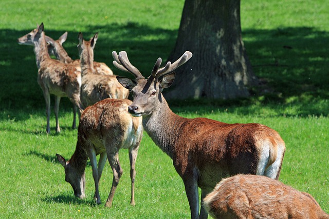Red Deer, Herd, Stag, Hind, Buck, Hart, Deer, Wildlife