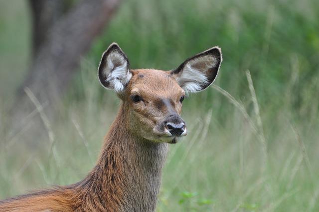 Hinde, Veluwe, Nature, Deer
