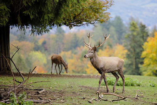 Deer, Antlers, Hirsch, Animal, Ruminant, Mammal