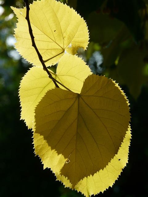 Lipovina, Leaves, Hispanic, Back Light, Smart, Linde