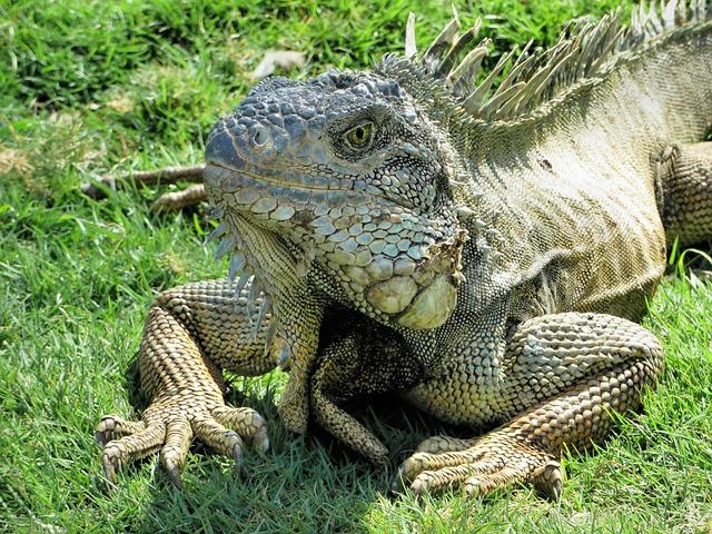 Ecuador, Guyayaquil, Historical Park, Iguana, Reptile