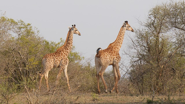 South Africa, Hluhluwe, Giraffes, Wild Animal