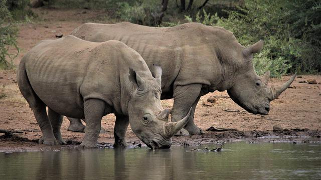 White Rhino, Couple, Two, Drinking, Water, Hole, Big 5