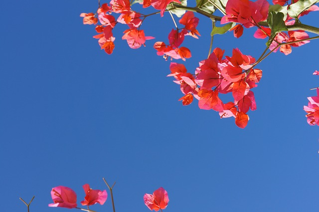 Bougainville, Summer, Flowers, Blue Sky, Holiday