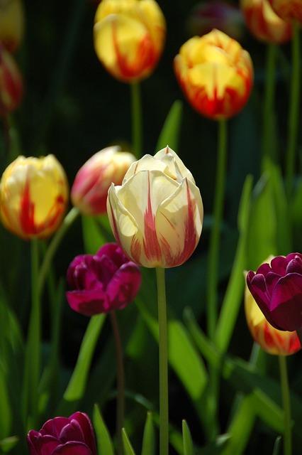 Tulips, Flowers, Amsterdam, Keukenhof, Holland, Spring
