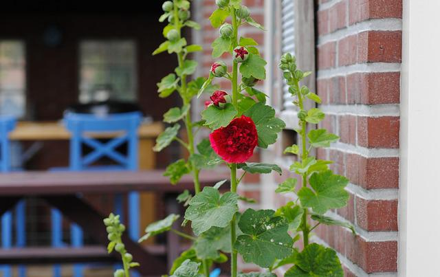 Hollyhock, Common Hollyhock, Alcea, Flower, Bloom