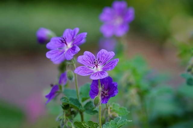 Mallow, Flower, Violet, Hollyhock Flower, Blossom