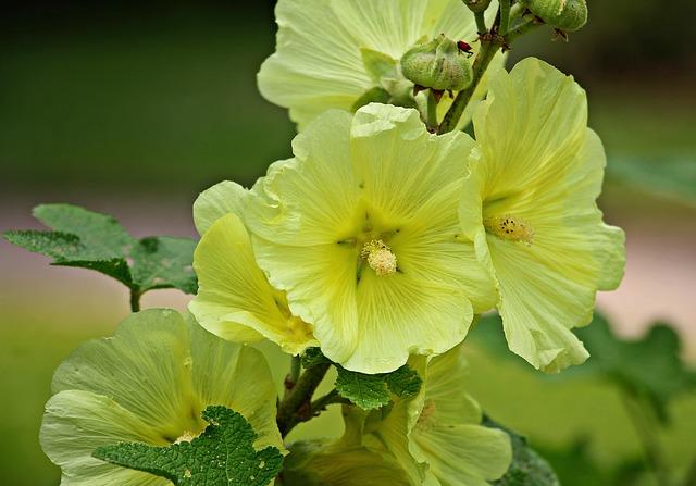 Stock Rose, Hollyhock, Garden Poplar Rose