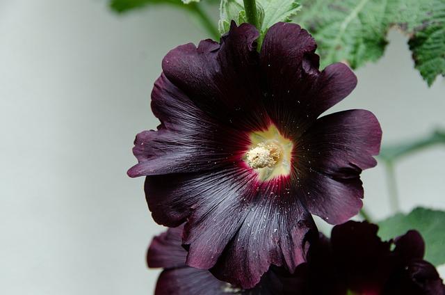 Stock Rose, Common Peony, Hollyhock