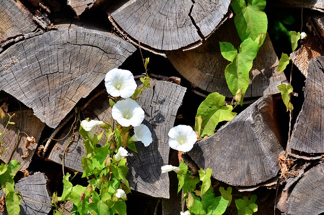 Bindweed, Plant, Wood, Holzstapel, Firewood, Climber