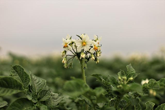 Potato, Potato Blossoms, Kempen, Home, Niederrhein