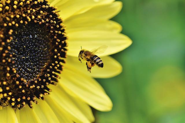 Bee, Honey Bee, Insect, Flight, Flying, Sunflower