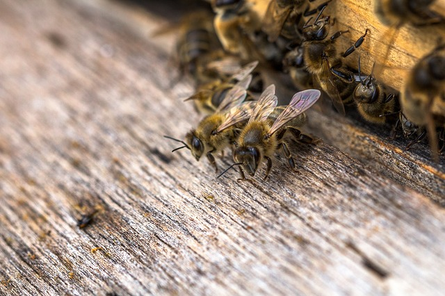 Insect, Close, Macro, Bees, Bee, Honey Bee, Honey Bees