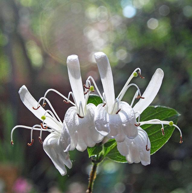 Flowers, White, Garden, Honeysuckle, White Flower