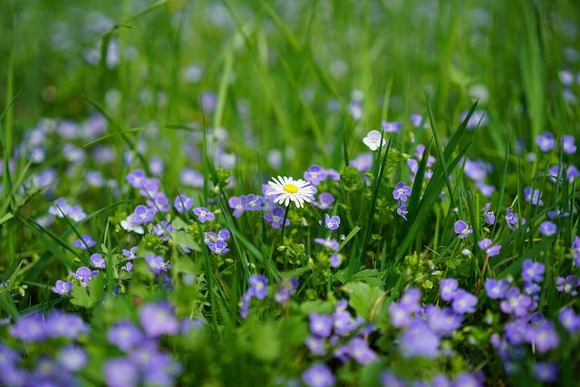 Daisy, Honorary Award, Chamaedrys, Flower, Blossom