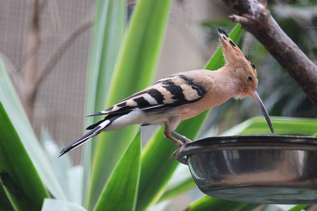 Hoopoe, Bird, Zoo, Drink
