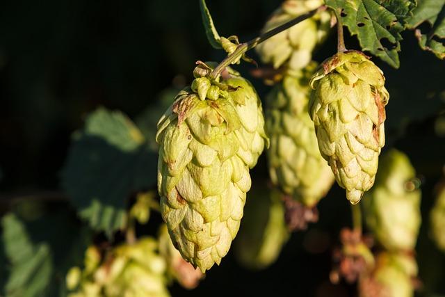 Hops, Plant, Umbel, Hops Fruits, Hopfendolde, Beer