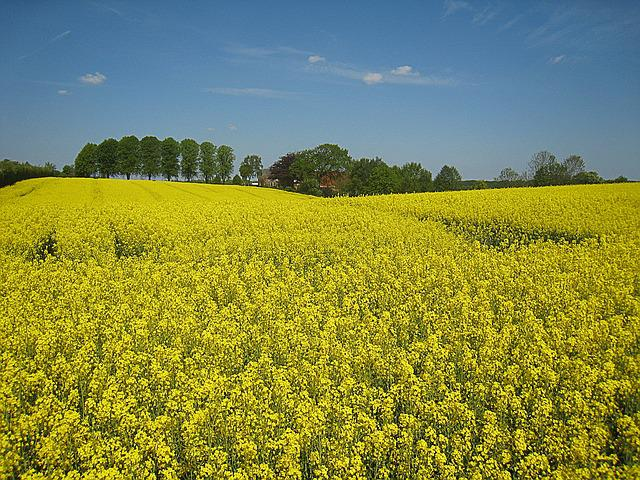 Oilseed Rape, Mecklenburg, Sky, Horizon, Germany