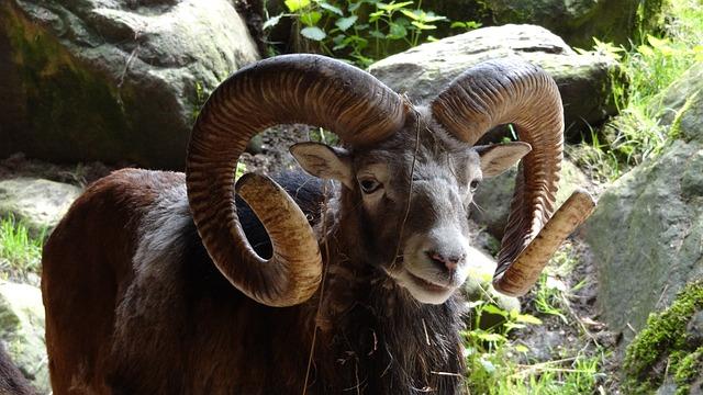 Aries, Mammal, Horn, National Park