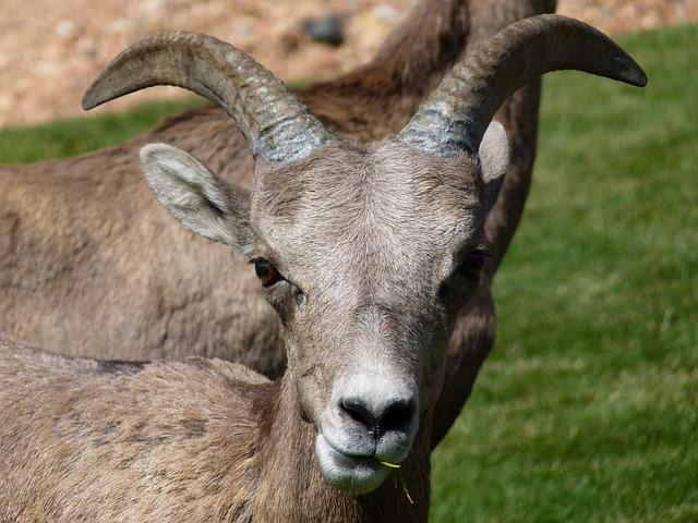 Mountain Sheep, Head, Horn, Garden, Animal, Mammal
