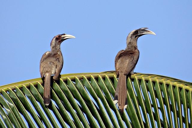 Indian Grey Hornbill, Ocyceros Birostris, Hornbill