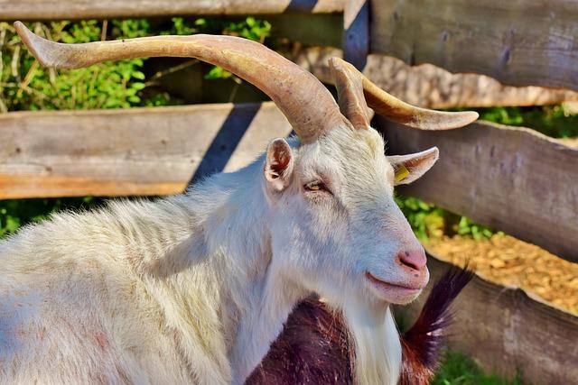 Billy Goat, Goat Buck, Goat, Horned, Horns, Bock