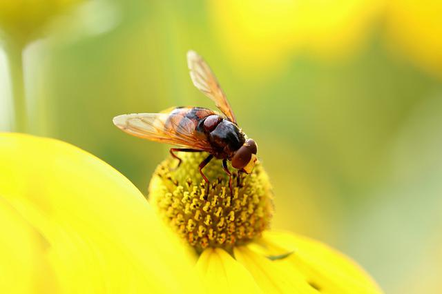 Insect, Hoverfly, Hornet Hover Fly, Coneflower, Stamens