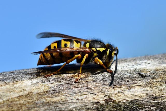 Hornet, Insect, Wasp, Sting, Animal, Macro, Prickly