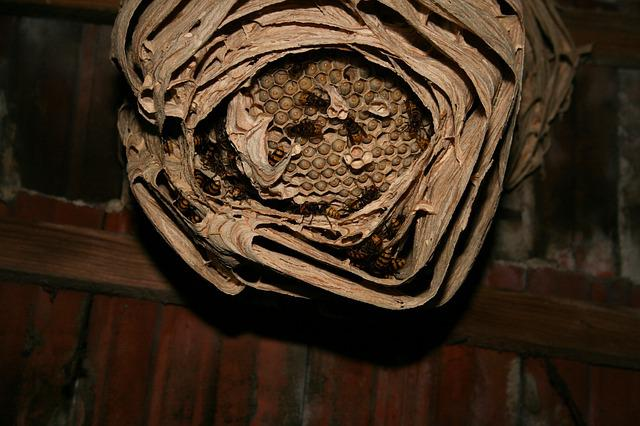 Hornet, Hornissennest, Engraving, Nature, Attic, Insect