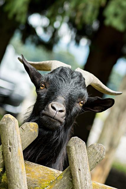 Bock, Billy Goat, Curious, Goat, Horns, Animal, Goatee
