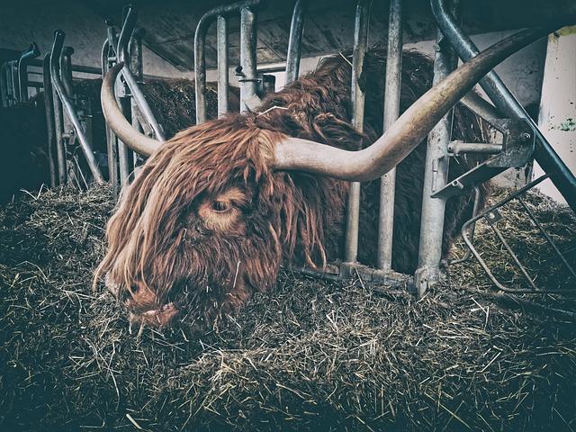Aurochs, Beef, Farm, Eat, Hay, Horns, Animal, Cattle
