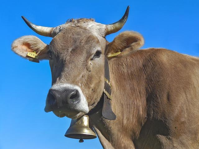 Cow, Horns, Milk Cow, Beef, Allgäu Brown, Allgäu