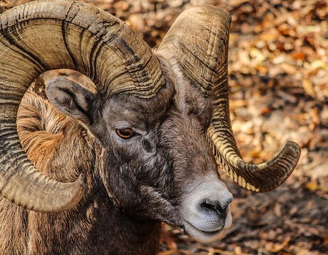 Bighorn Ram, Male, Horns, Rocky Mountain Bighorn Sheep