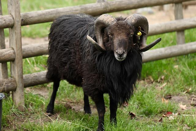 Sheep, Ram, Aries, Horns, Livestock, Bock, Pasture