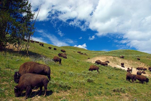 Bison On Hillside, Bison, Herd, Nature, Buffalo, Horns