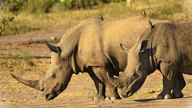 Rhinoceros, Close, Horns, Dangerous, Endangered